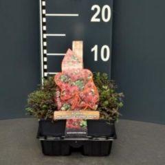 """Plantenwinkel.nl Stekelnootje (acaena microphylla """"Kupferteppich"""") bodembedekker - 4-pack - 1 stuks"""