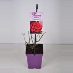 "Plantenwinkel.nl Grootbloemige roos (rosa ""Gräfin Diana® Parfuma""®)"