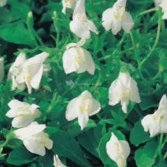Moerings waterplanten Witte mazus (Mazus reptans alba) moerasplant - 6 stuks