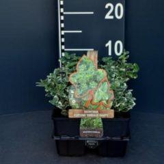 """Plantenwinkel.nl Kardinaalsmuts (euonymus fortunei """"Emerald Gaiety"""") bodembedekker - 6-pack - 1 stuks"""