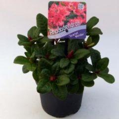 "Plantenwinkel.nl Rododendron (Rhododendron Repens ""Scarlet Wonder"") heester - 15-20 cm - 8 stuks"