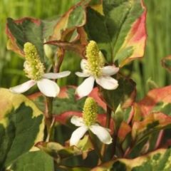 "Moerings waterplanten Bonte moerasanemoon (Houttuynia cordata ""Chameleon"") moerasplant - 6 stuks"