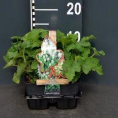 Plantenwinkel.nl Schuimbloem (tiarella cordifolia) bodembedekker - 4-pack - 1 stuks