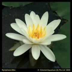 Moerings waterplanten Witte waterlelie (Nymphaea alba) waterlelie - 6 stuks