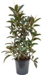 Plantenwinkel.nl Ficus elastica melany kamerplant