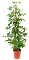Plantenwinkel.nl Philodendron pedatum pyramis kamerplant