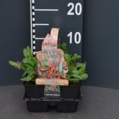 Plantenwinkel.nl Duizendknoop (persicaria affinis) bodembedekker - 4-pack - 1 stuks