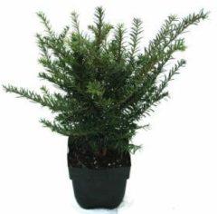 Plantenwinkel.nl Gewone taxus (Taxus baccata) conifeer - 6 stuks