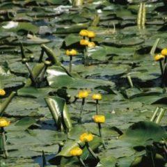 Moerings waterplanten Gele plomp (Nuphar lutea) waterlelie - 6 stuks