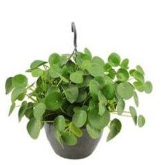 Plantenwinkel.nl Pilea peperomioides pannenkoekenplant hangplant