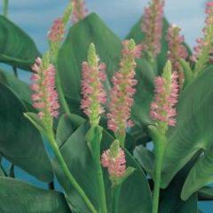 """Moerings waterplanten Roze snoekkruid (Pontederia cordata """"Pink pons"""") moerasplant - 6 stuks"""