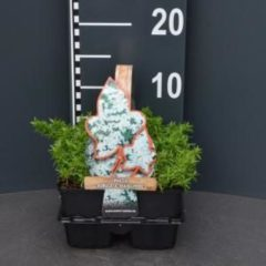 "Plantenwinkel.nl Kruipphlox (phlox subulata ""Maischnee"") bodembedekker - 4-pack - 1 stuks"