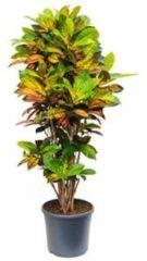 Plantenwinkel.nl Croton iceton L kamerplant