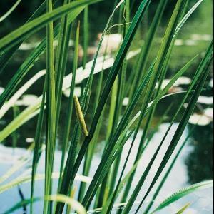 Afbeelding van Moerings waterplanten Kalmoes (Acorus calamus) moerasplant - 6 stuks