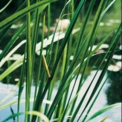 Moerings waterplanten Kalmoes (Acorus calamus) moerasplant - 6 stuks