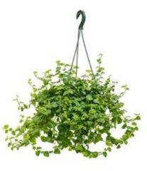 Plantenwinkel.nl Ficus repens groen sunny hangplant