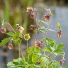 Moerings waterplanten Knikkend nagelkruid (Geum rivale) moerasplant - 6 stuks