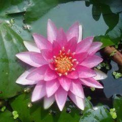 Moerings waterplanten Roze waterlelie (Nymphaea Madame Wilfron Gonnère) waterlelie - 6 stuks