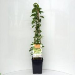 "Plantenwinkel.nl Kiwibes (Actinidia Arguta ""Issai"") fruitplanten - In 5 liter pot - 1 stuks"