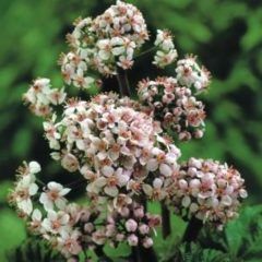 Moerings waterplanten Schildblad (Darmera peltata) moerasplant - 6 stuks
