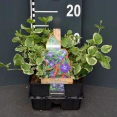 "Plantenwinkel.nl Grote maagdenpalm (vinca major ""Variegata"") bodembedekker - 4-pack - 1 stuks"