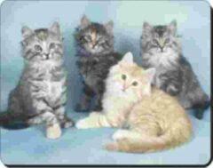 Advanta 4 noorse boskat kittens Muismat