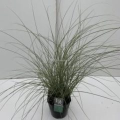 "Plantenwinkel.nl Prachtriet (Miscanthus sinensis ""Morning Light"") siergras - In 5 liter pot - 1 stuks"