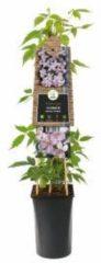 "Plantenwinkel.nl Roze bosrank (Clematis montana ""Rubens"") klimplant - 70 cm - 1 stuks"