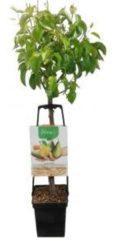 Plantenwinkel.nl Perenboom mix – fruitbomen - 3 stuks