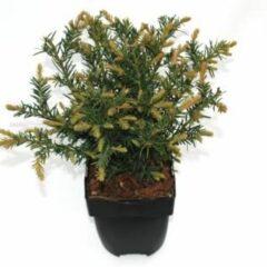 "Plantenwinkel.nl Kruipende taxus (Taxus baccata ""Repandens"") conifeer - 6 stuks"