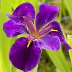 """Moerings waterplanten Paarse Japanse iris (Iris """"Black Gamecock"""") moerasplant - 6 stuks"""