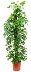 Plantenwinkel.nl Philodendron minima M kamerplant