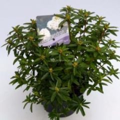 "Plantenwinkel.nl Dwerg rododendron (Rhododendron ""Arctic Tern"") heester - 6 stuks"