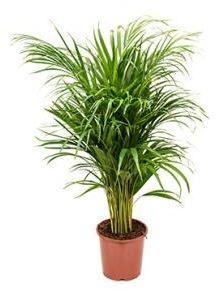 Afbeelding van Plantenwinkel.nl Areca Palm lutescens S kamerplant