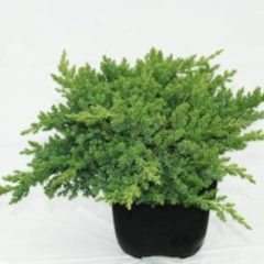 "Plantenwinkel.nl Kruipende jeneverbes (Juniperus procumbens ""Nana"") conifeer - 6 stuks"