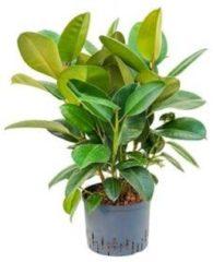 Plantenwinkel.nl Ficus elastica robusta bush hydrocultuur plant