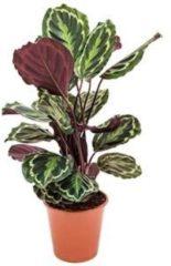 Plantenwinkel.nl Calathea medallion kamerplant
