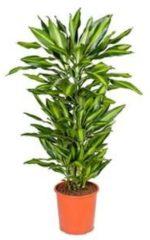 Plantenwinkel.nl Dracaena cintho L kamerplant