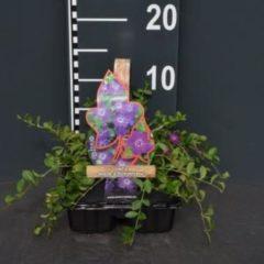 """Plantenwinkel.nl Kleine maagdenpalm (vinca minor """"Atropurpurea"""") bodembedekker - 4-pack - 1 stuks"""