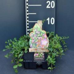 """Plantenwinkel.nl Kleine maagdenpalm (vinca minor """"Atropurpurea"""") bodembedekker - 6-pack - 1 stuks"""