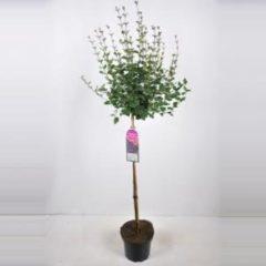 Plantenwinkel.nl Dwergsering op stam 90 cm (syringa Bloomerang®''Dark Purple'')