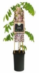 "Plantenwinkel.nl Blauweregen roze (Wisteria Floribunda ""Rosea"") klimplant - 4 stuks"