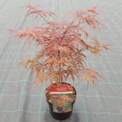 "Plantenwinkel.nl Japanse esdoorn (Acer palmatum ""Peve Dave"") heester - 3 stuks"