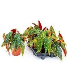Groene Plantenwinkel.nl Begonia maculata stippenplant S kamerplant