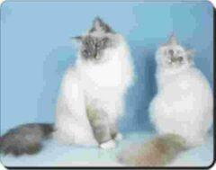 Advanta 2 Burmaanse Katten Blauwe Achtergr Muismat