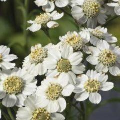 Moerings waterplanten Wilde bertram (Achillea ptarmica) moerasplant - 6 stuks