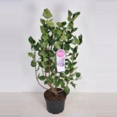 "Plantenwinkel.nl Sering (syringa vulgaris ""Lavender Lady"") - 70-90 cm - 1 stuks"