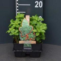 Plantenwinkel.nl Schaduwkruid (pachysandra terminalis) bodembedekker - 4-pack - 1 stuks