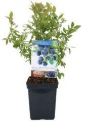 "Plantenwinkel.nl Bosbes (vaccinium corymbosum ""Sunshine Blue"") fruitplanten - 3 stuks"