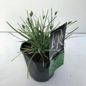 Afbeelding van Plantenwinkel.nl Blauwgras (Sesleria caerulea) siergras - 6 stuks